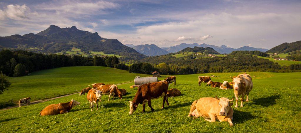 Milch-Kühe auf dem Bio-Betrieb von Marinus Hartl